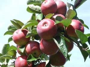 apples-red-Lisa-sept-08-112-FCX-PYO-wellwood-orchards-11-300x225