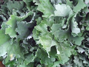 green-and-purple-kale-leaves-keene-fm-by-SC-20084-300x225