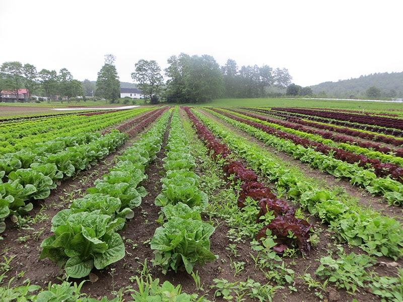 Crossroad lettuce