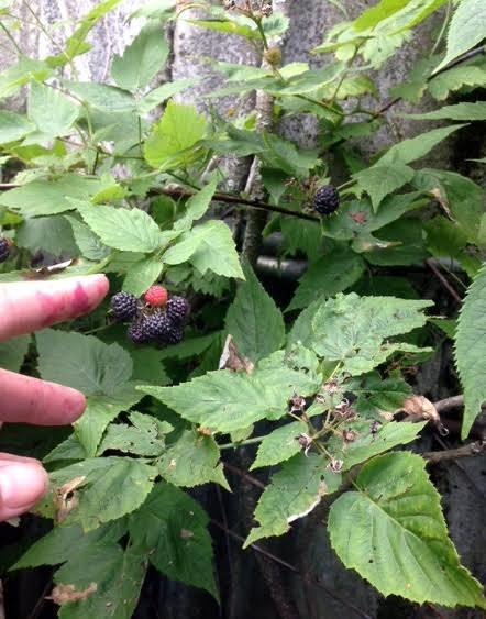 black raspberries to pick
