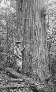 Historical photo of American chestnut tree, W. Virginia, 1924, courtesy of the Forest History Society, Durham, N.C