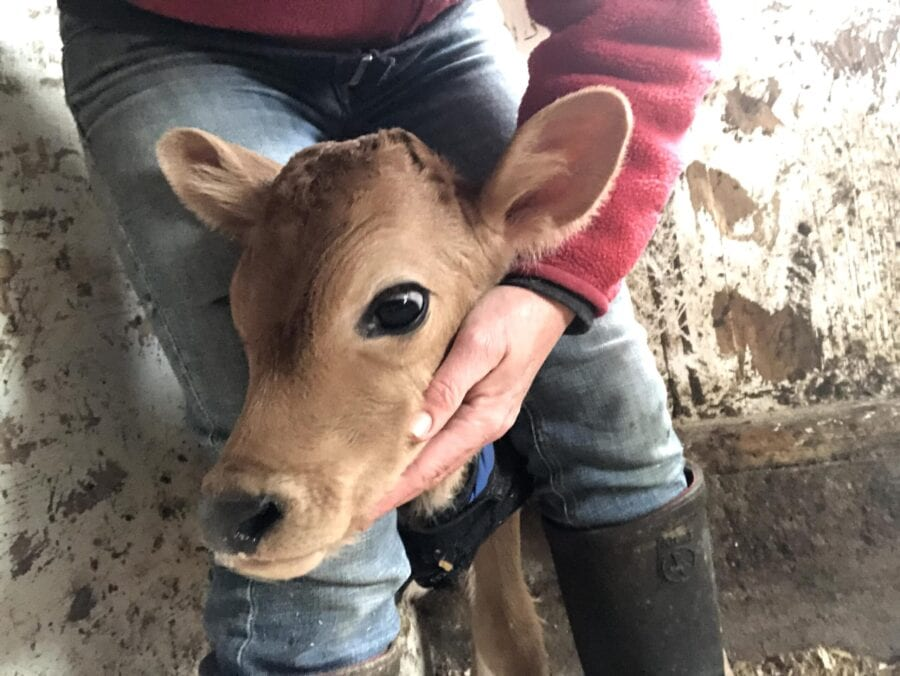 Richardson Farm calf